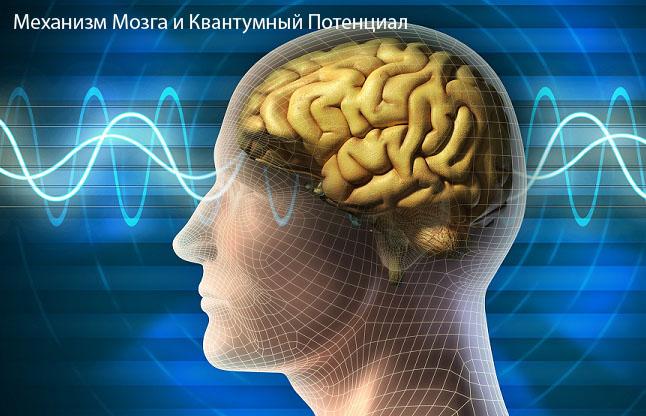 Механизм Мозга и Квантумный Потенциал